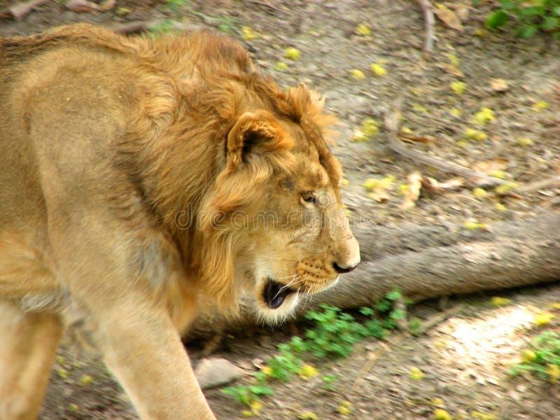 Download Lion stock photo. Image of animal, mammal, wild, head - 13732578