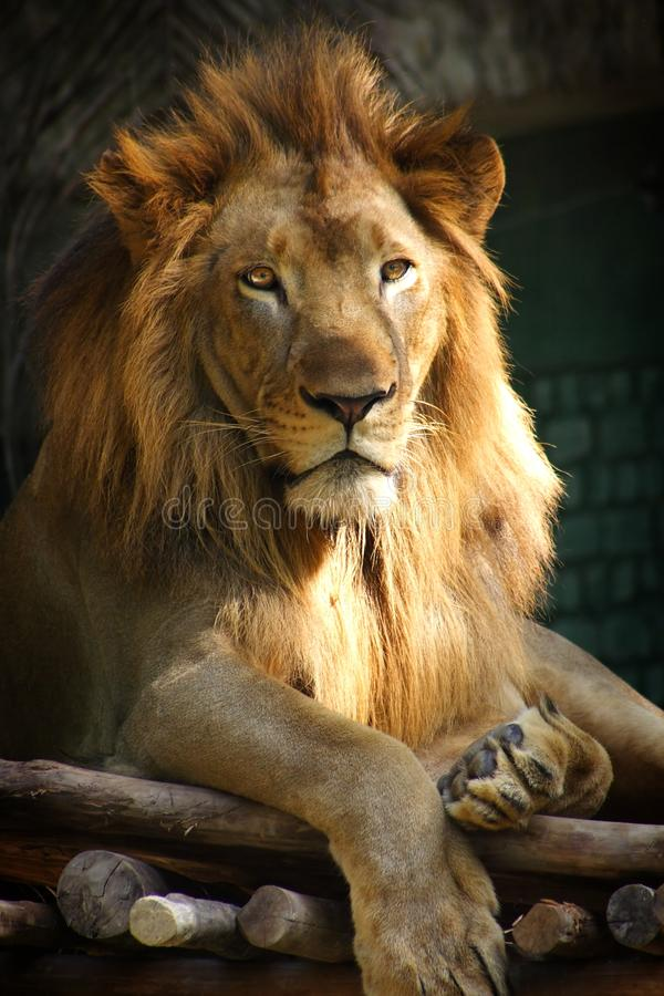 Download Lion Stock Photo - Image: 13792870