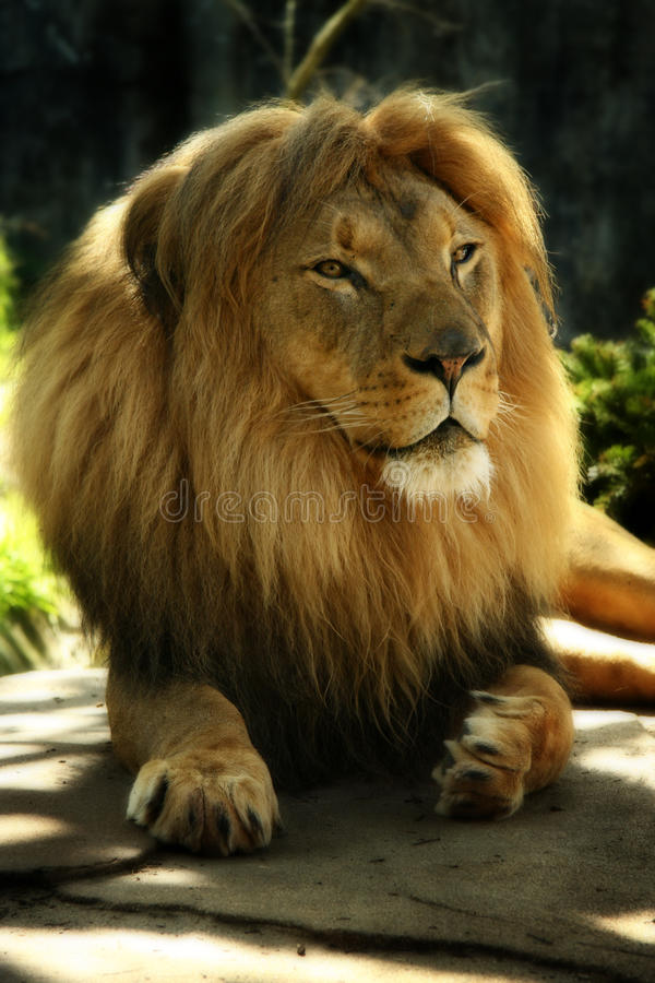 Lion stock photos