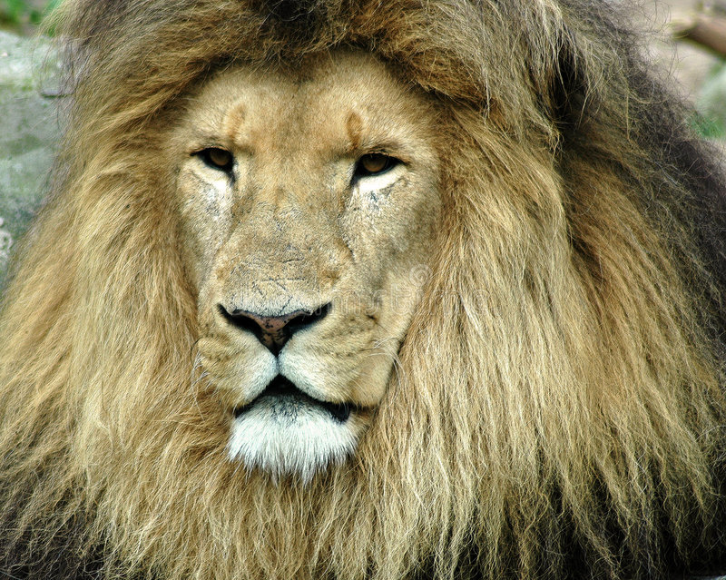 Lion. Portrait of a old lion royalty free stock images