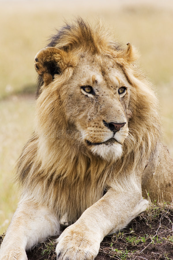 Free Lion Royalty Free Stock Photo - 1449215