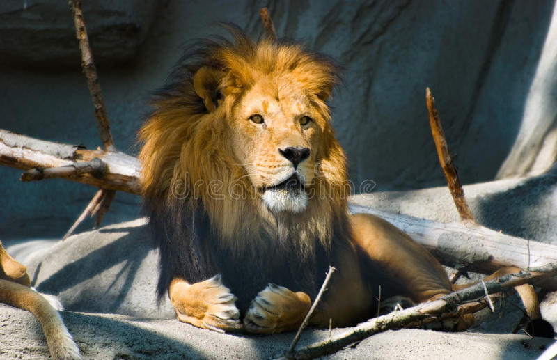 Download Lion stock photo. Image of free, hairy, life, wild, animal - 14859922