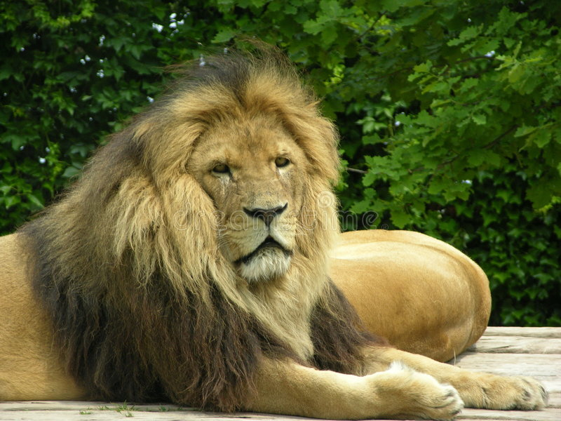 Download Lion stock image. Image of wildlife, park, elderly, relax - 170175
