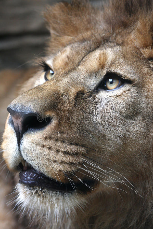 Download Lion stock image. Image of head, male, exotic, africat - 17026029
