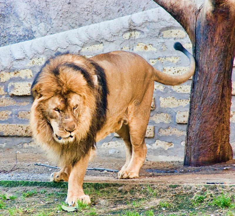 Free Lion Stock Images - 17540134