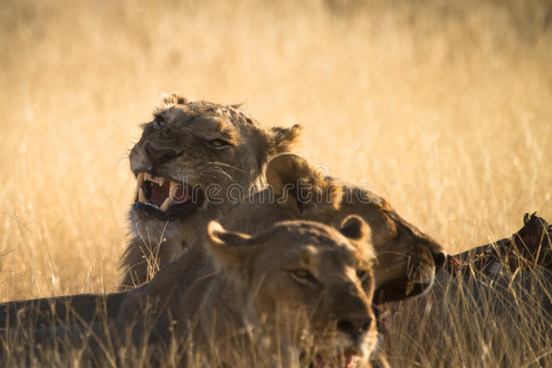 Download Lion stock image. Image of animal, look, lion, lioness - 17928001