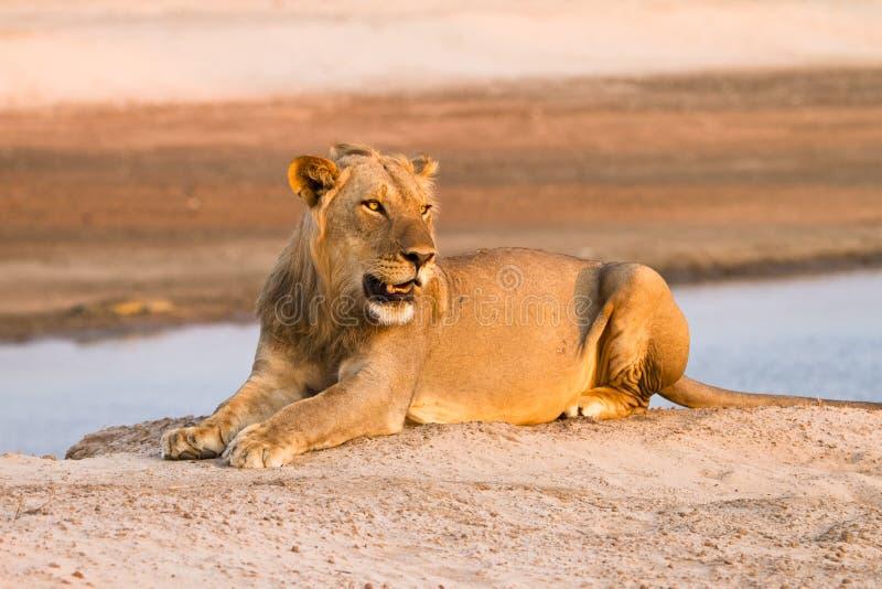 Download Lion stock photo. Image of hunt, habitat, fierce, national - 17929278