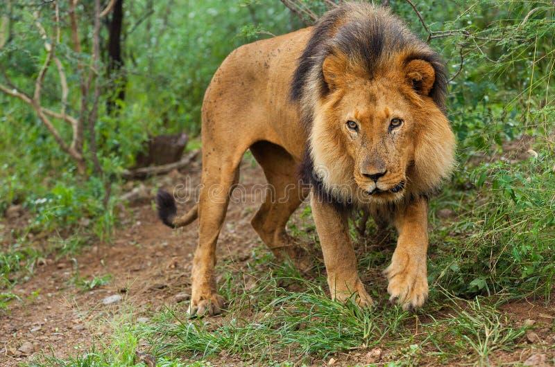 Download Lion 2 stock image. Image of nature, hunter, africa, safari - 27532789