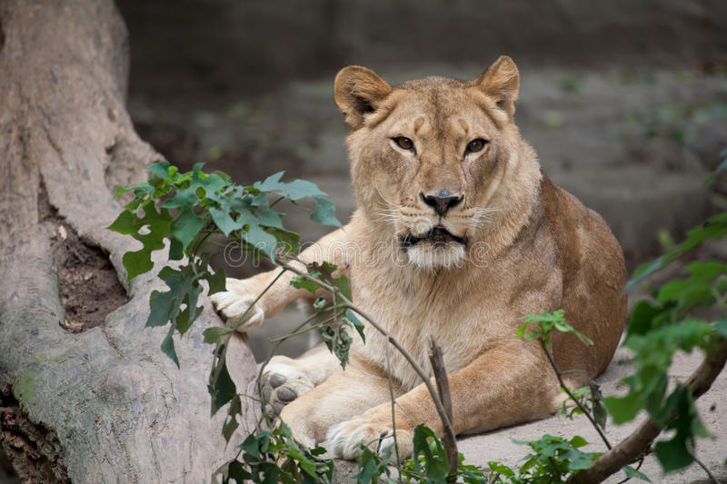 Download Lion Royalty Free Stock Photography - Image: 20599227