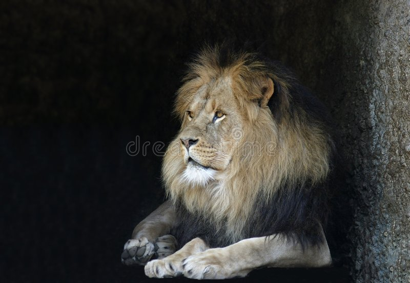 Download Lion Royalty Free Stock Photography - Image: 21967
