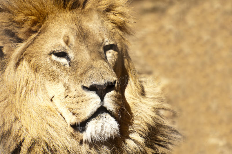 Download Lion stock photo. Image of hunter, environment, male - 23033440