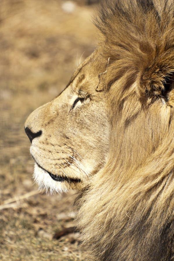 Download Lion stock photo. Image of hunter, animal, profile, male - 23033570