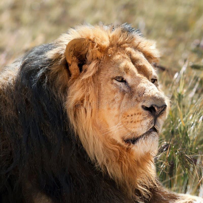 Download Lion stock image. Image of grass, wild, safari, hair - 23187549