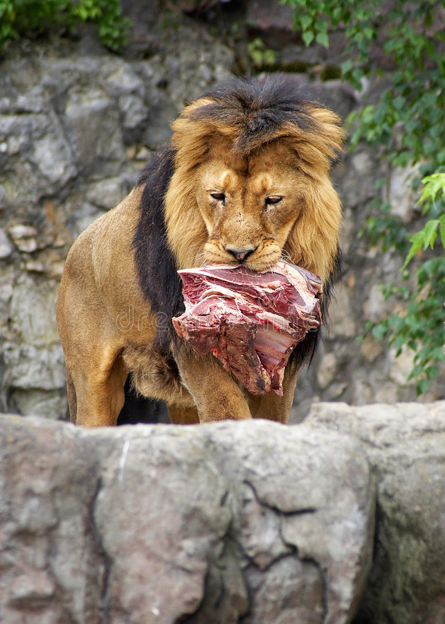 Download Lion stock image. Image of food, titbit, delicacy, piece - 236763