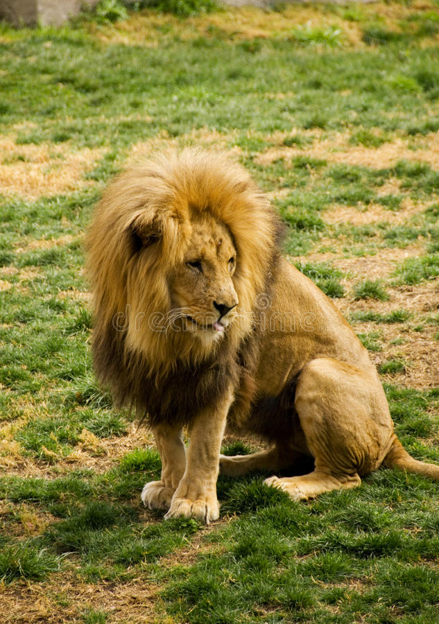 Download Lion stock photo. Image of king, hunter, park, power - 23875340