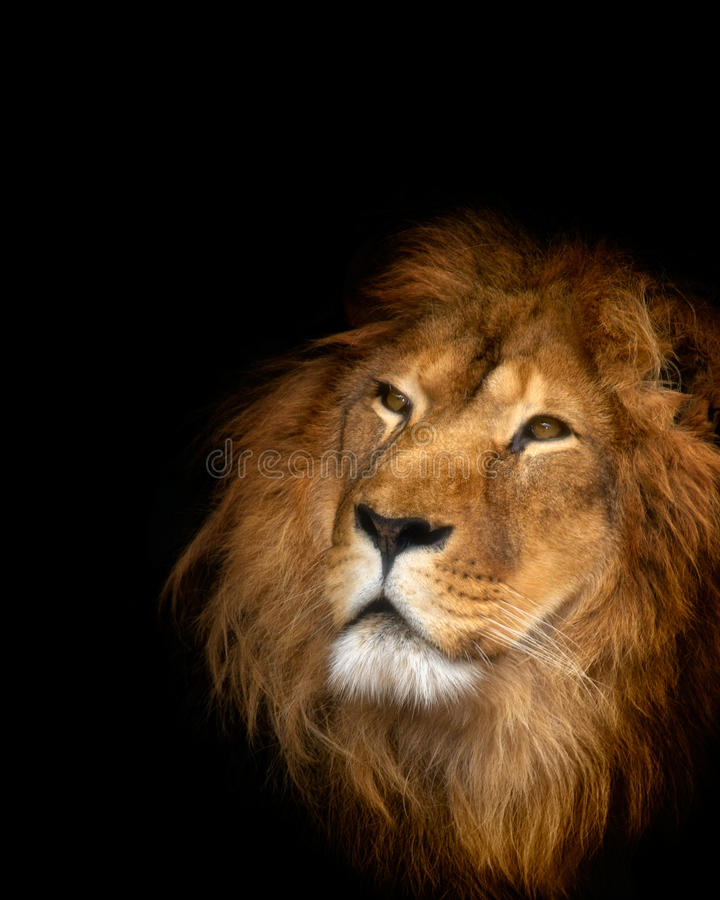 Lion. On the black background stock images