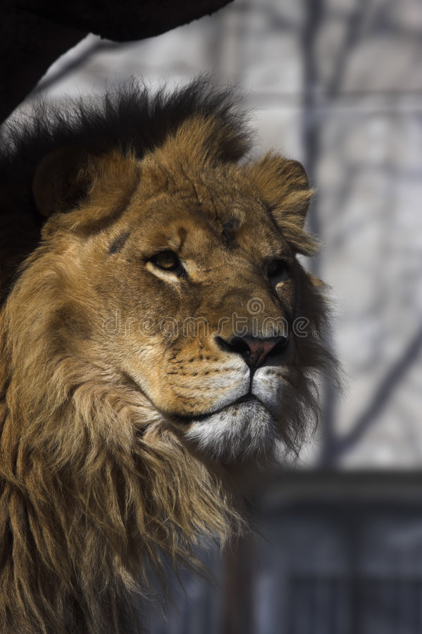 Free Lion Royalty Free Stock Image - 2670486