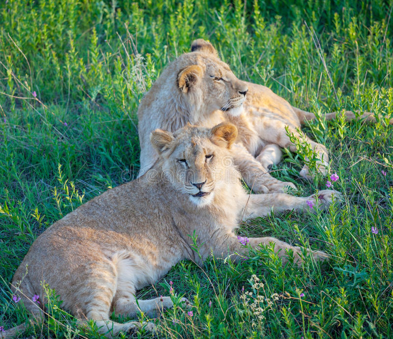 Download Lion stock photo. Image of habitat, outdoor, mane, carnivore - 27046074