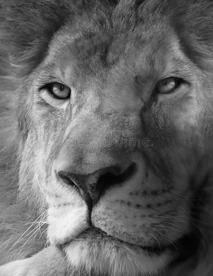 Lion. Black and white photo of lion stock image