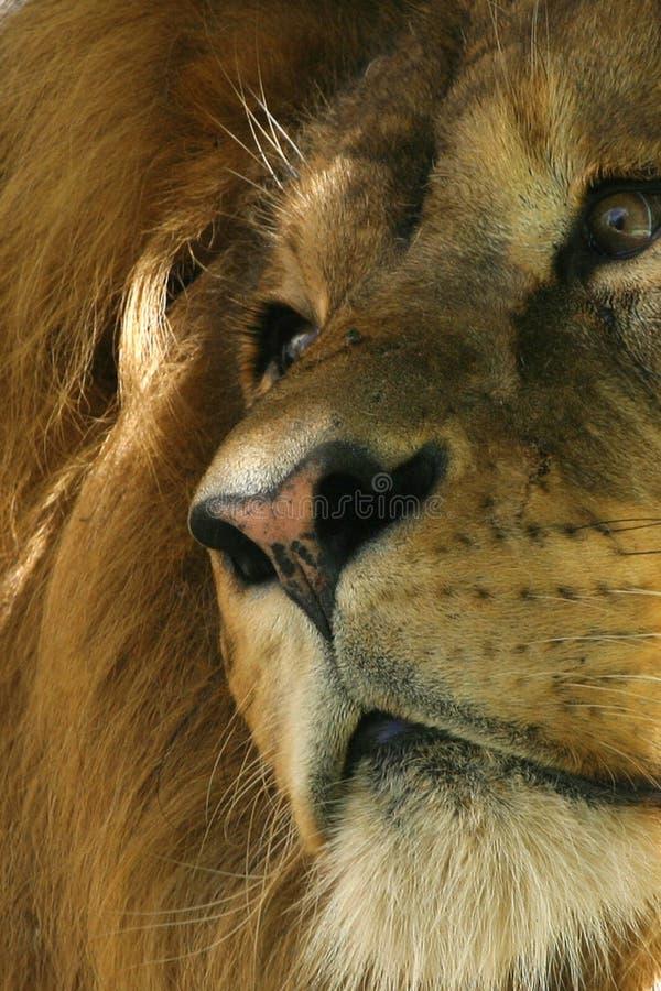 Free Lion Stock Photos - 2756383