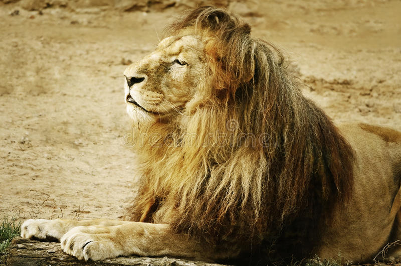 Download Lion stock image. Image of fauna, nature, savage, africa - 27692325