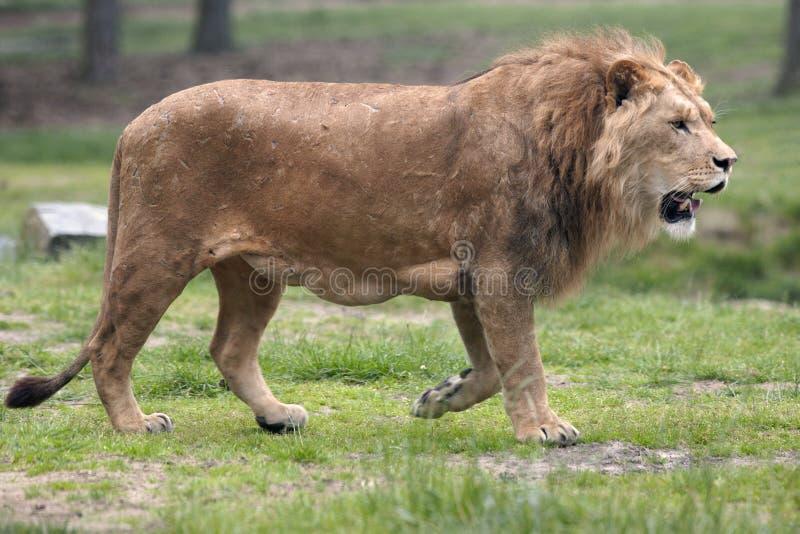 Lion photographie stock libre de droits