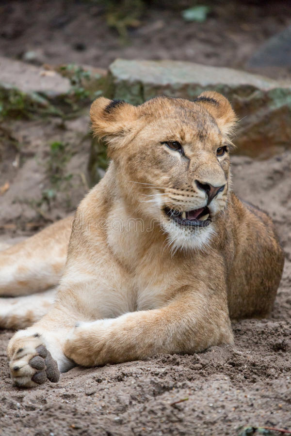 Download Lion stock image. Image of nature, africa, closeup, wild - 28135965