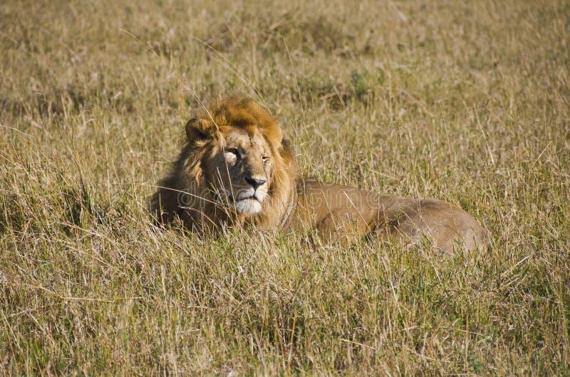 Download Lion stock image. Image of travel, kenya, field, grass - 28282005