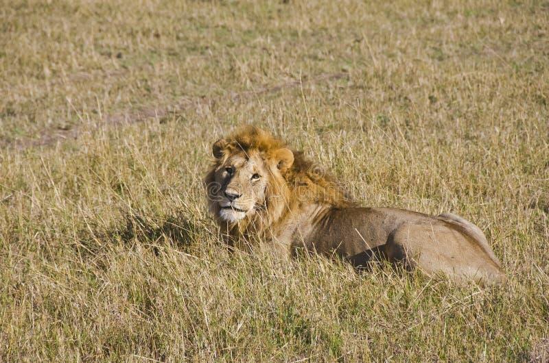 Download Lion stock image. Image of tourism, wildlife, animal - 28282065