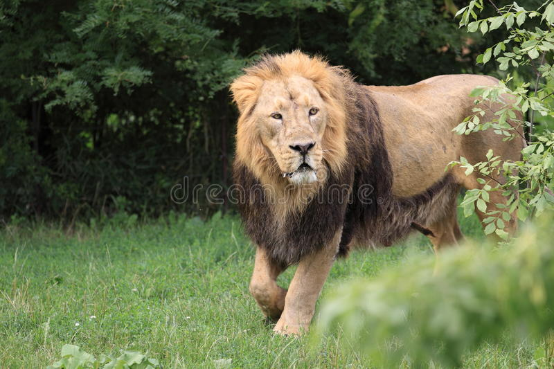Download Lion stock image. Image of mammal, panthera, animal, nature - 28298357
