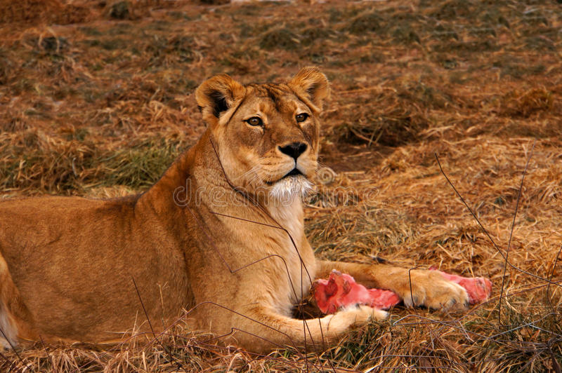 Download Lion Royalty Free Stock Images - Image: 28595989