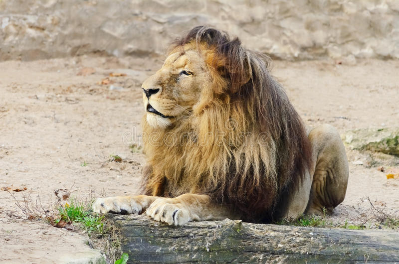 Lion. Old Lion Is Lying On The Sand stock photo