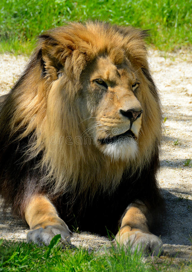 Free Lion Stock Images - 31350434