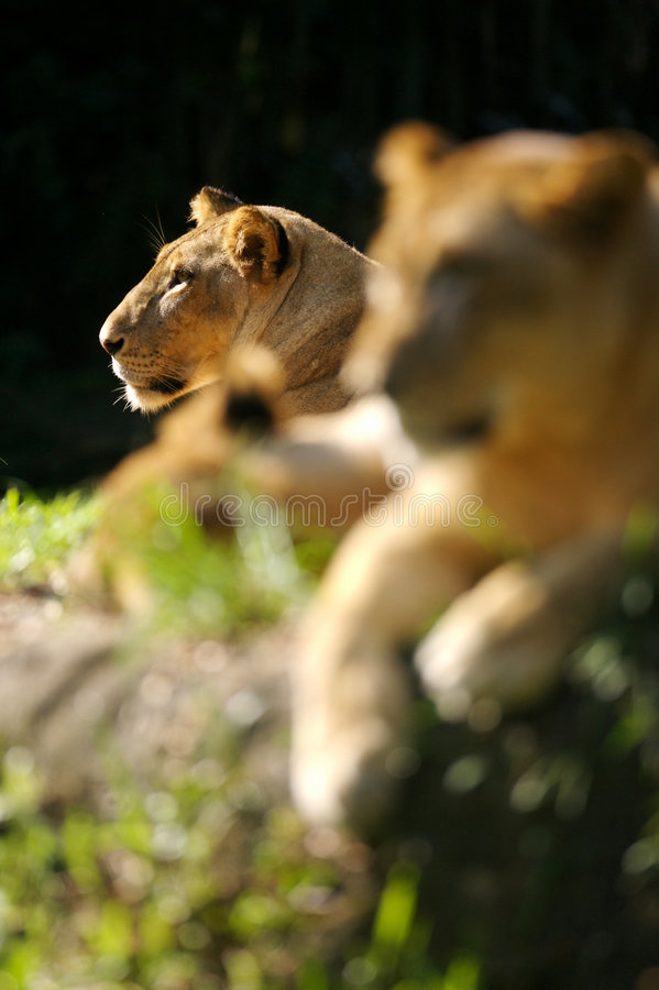 Lion. A pride of lions in the wild stock image