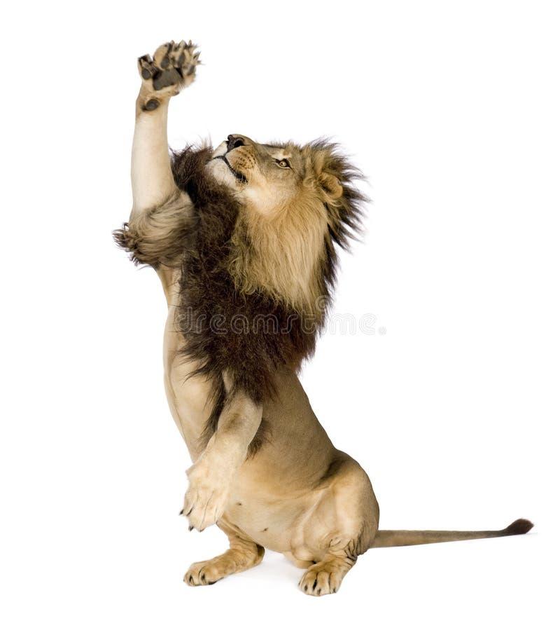 Lion (4 et une moitié d'ans) - Panthera Lion photo libre de droits