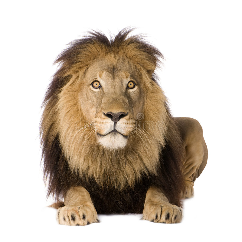 Download Lion (4 And A Half Years) - Panthera Leo Stock Photo - Image: 5877512