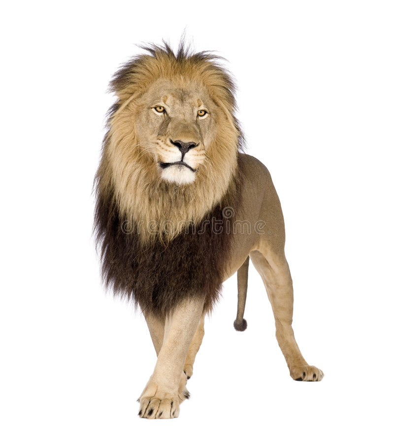 Download Lion (4 And A Half Years) - Panthera Leo Stock Image - Image: 6004203