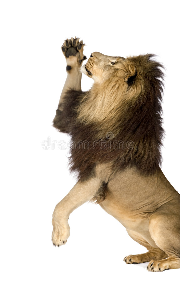 Lion (4 and a half years) - Panthera leo royalty free stock images