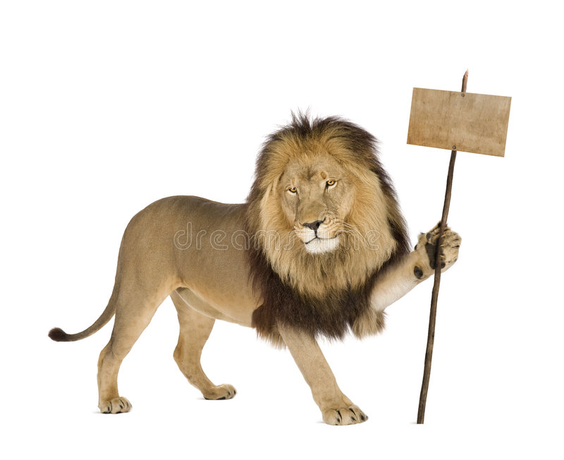 Lion (4 and a half years) - Panthera leo. In front of a white background stock photos