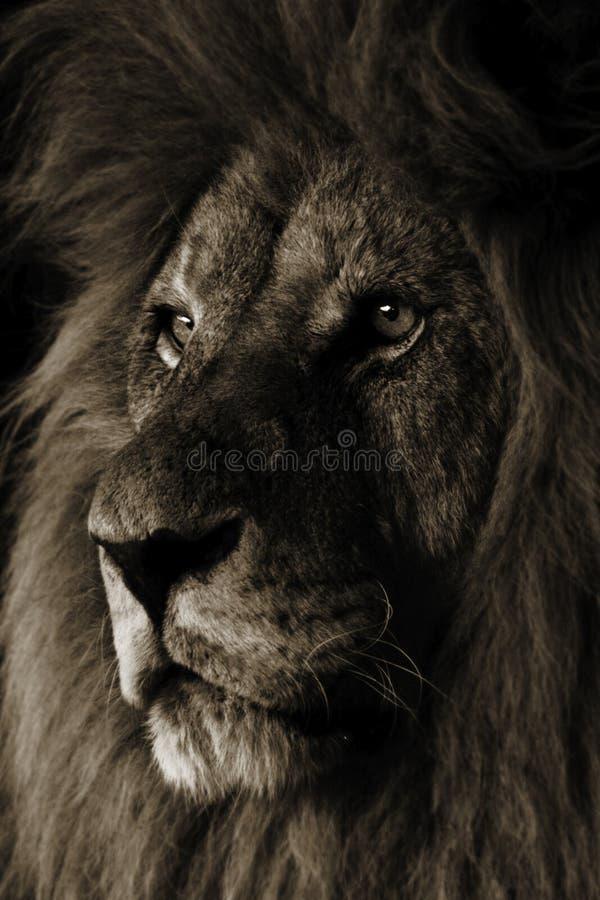 Lion. Portrait of a Male Lion