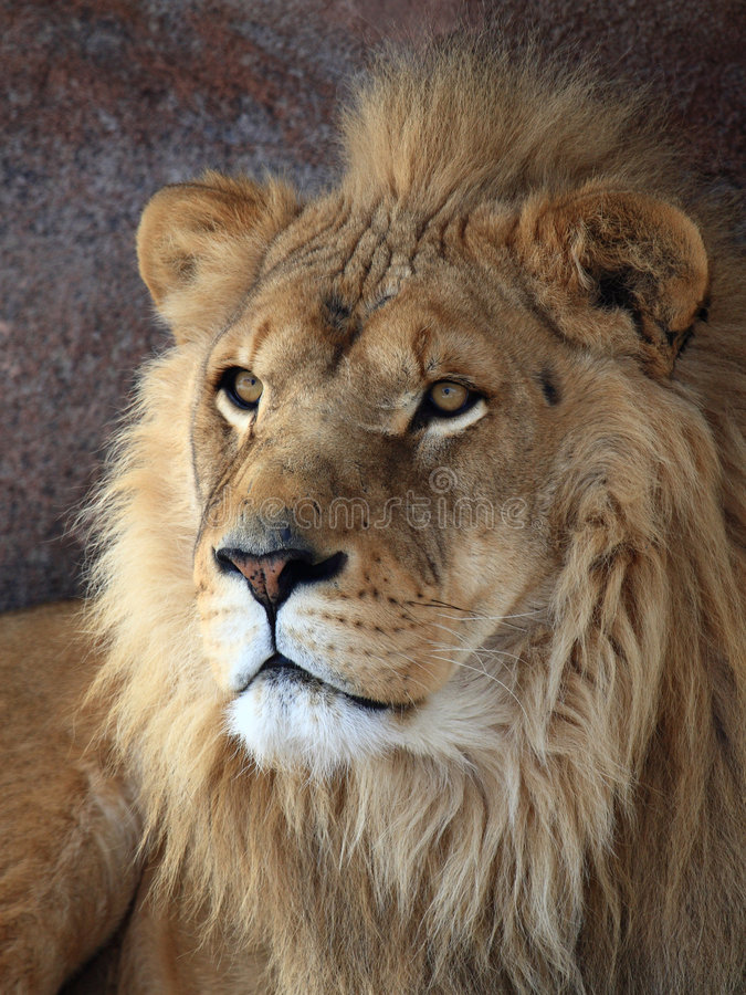 Download Lion Royalty Free Stock Photography - Image: 4424147