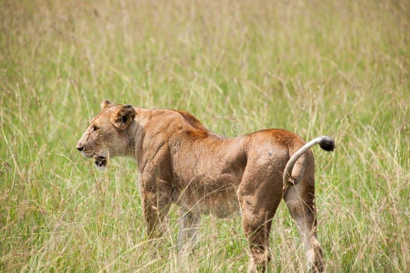 Download Lion photo stock. Image du afrique, faune, nature, désert - 45355034
