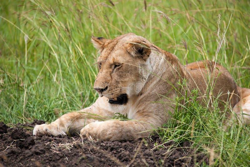 Download Lion photo stock. Image du savannah, faune, nature, crocs - 45355132