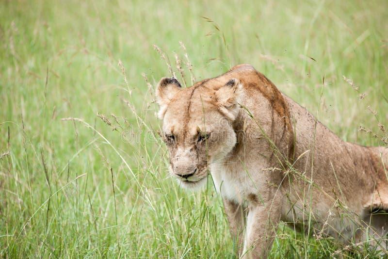 Download Lion photo stock. Image du chasseur, kenya, crocs, savannah - 45355310