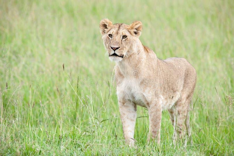 Download Lion photo stock. Image du animal, afrique, animaux, prédateur - 45355340
