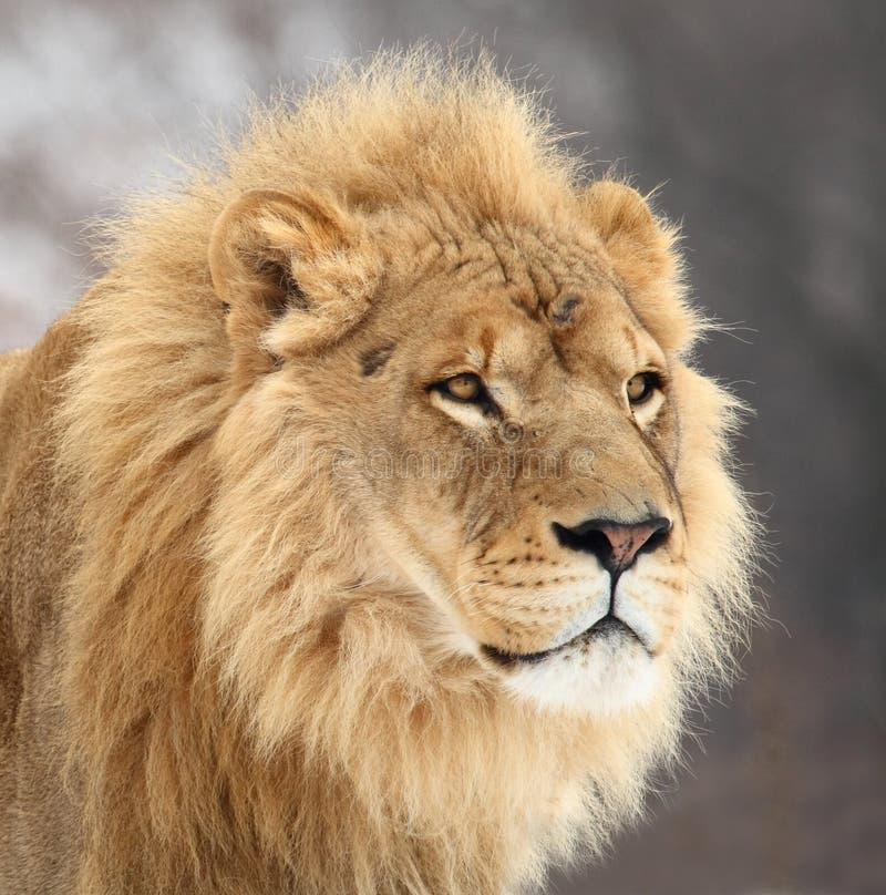 Lion. The male lion's portrait lion's profile