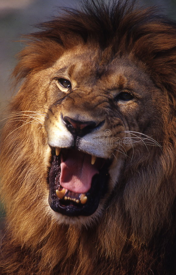 Download Lion stock photo. Image of lion, magnificent, hair, roar - 4730684