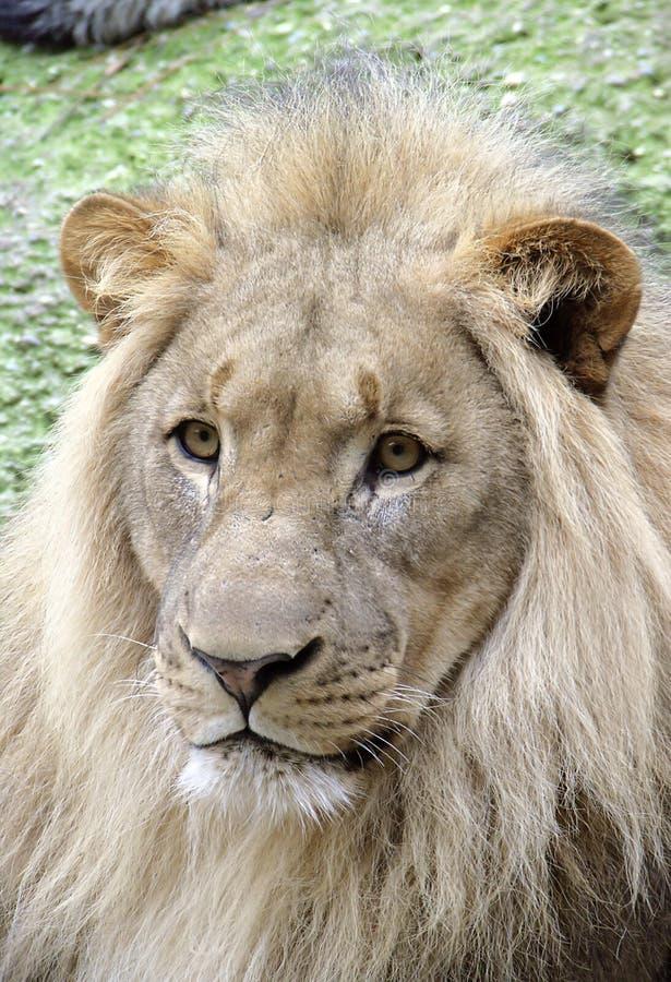 Lion 5 stock photo