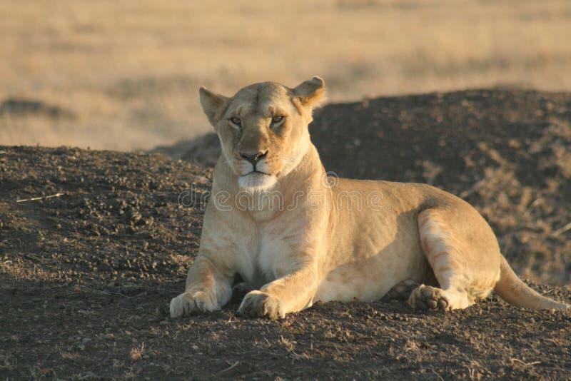 Photo gratuite lion image image 5130785 - Photos de lions gratuites ...
