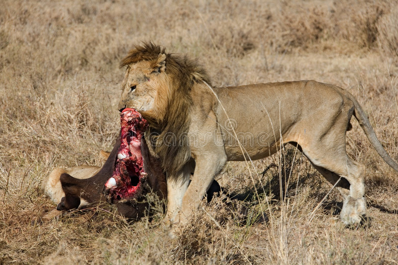 Download Lion stock photo. Image of hunting, nature, kenya, animal - 515218